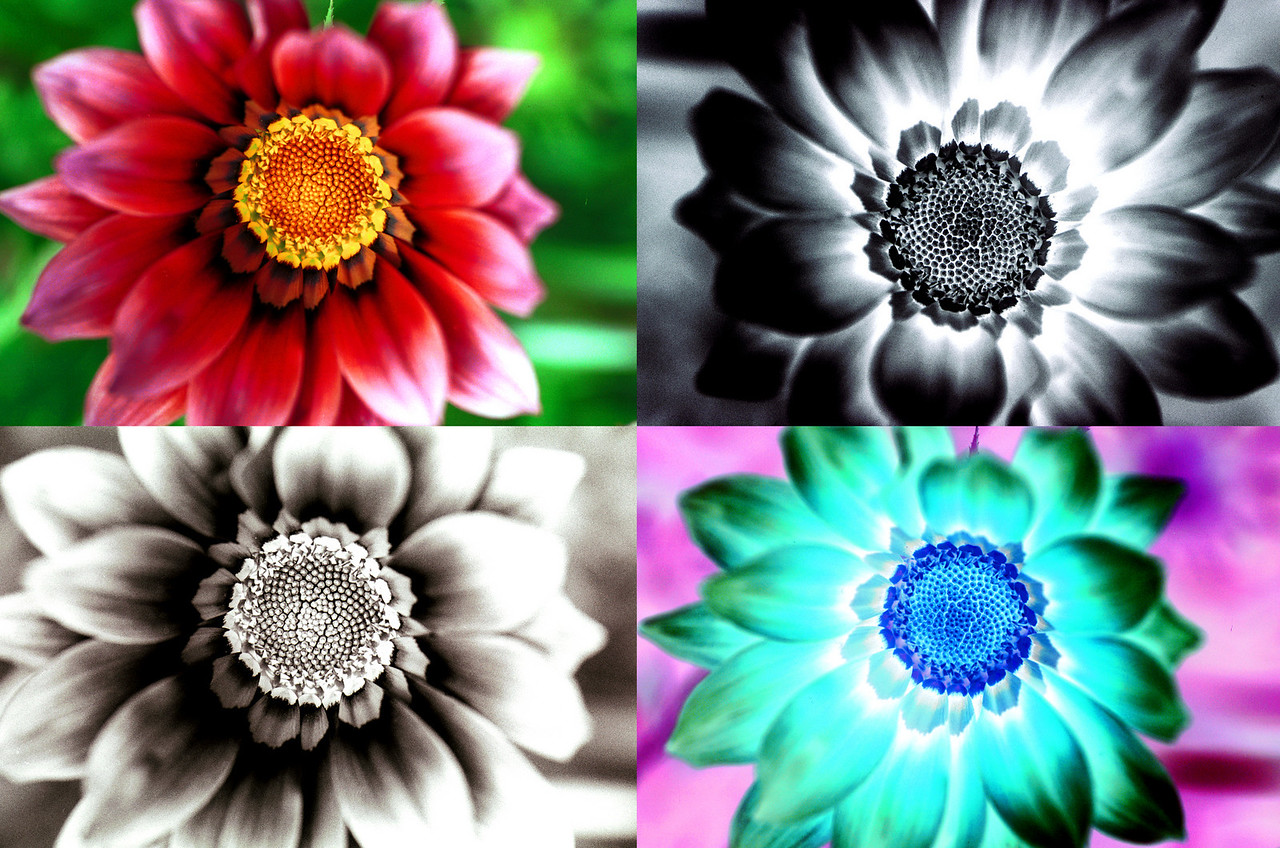Dalias  Positive and Negative, Color and Black and White. Photoshop Special effects, Client: Photography Stock Agency.
