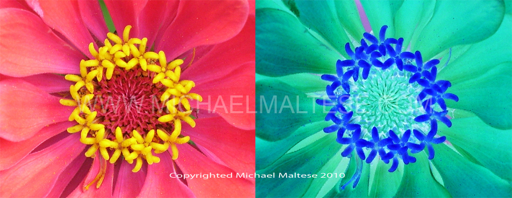 Marigold Flowers, Positive and Negative. Photoshop Special effects, Client: Photography Stock Agency.
