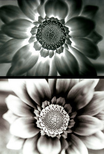 Dalias  Positive and Negative,  from black and white negative. Photoshop Special effects, Client: Photography Stock Agency.