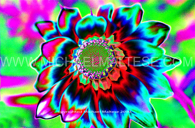 Dalia - Altered.   This imaged started with a close up photograph of a multicolored Dalia flower and with major manipulations of the levels command in Photoshop, I arrived at this image. - Michael Maltese