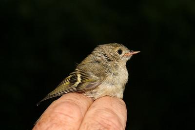 Králíček obecný (nejmenší český pták)