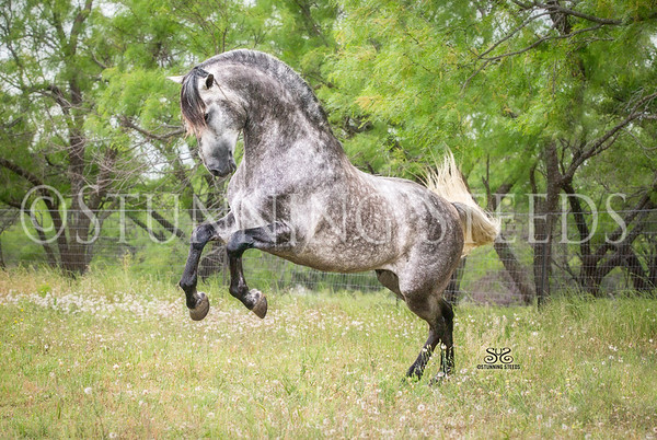 Epic Andalusians Sport Horses