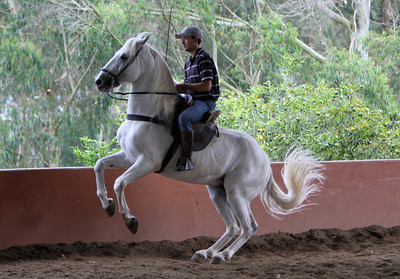 Lusitanos in training