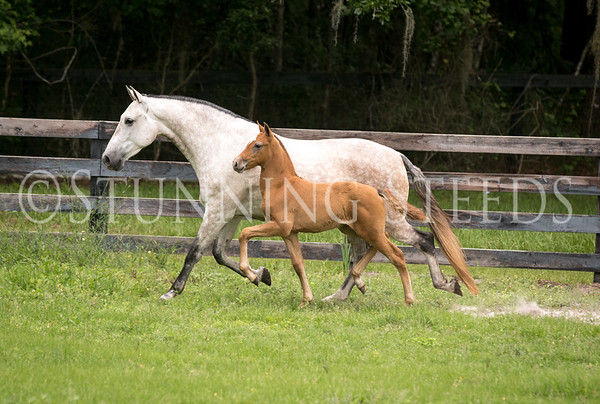 LUCIA MC by Huatulco MOR ex of TB Wendy-Filly is by Venidero MC