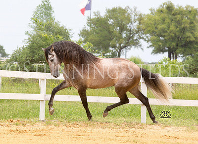Royal Eclipse Andalusians TX