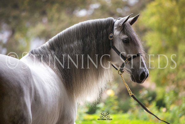 Tilley Andalusians - Thousand Oaks-CA-TREES EVENT