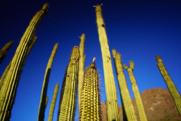 Organ Pipe Cactus / Organ Pipe National Monument, Arizona