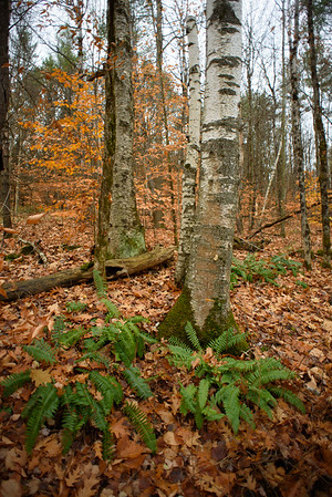 Birches and Ferns / Norwich, Vermont