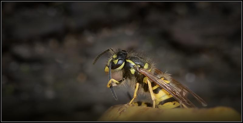 Duitse wesp/German wasp