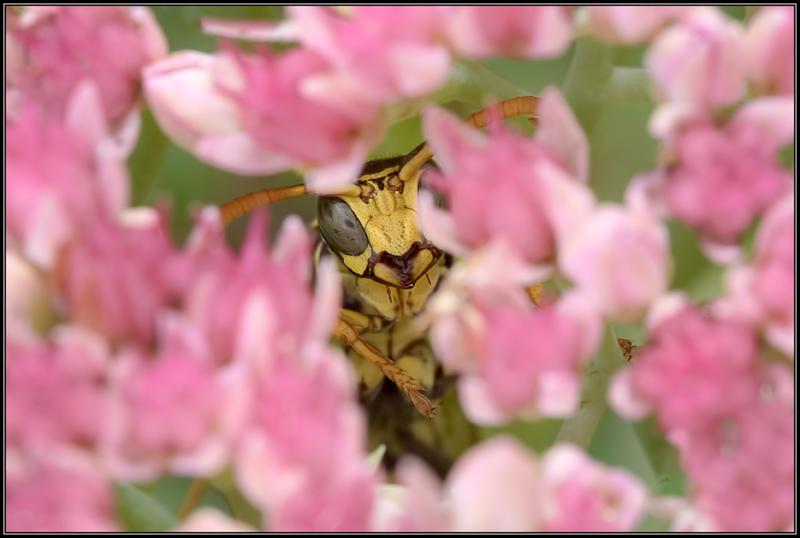 Franse veldwesp/European Paper Wasp