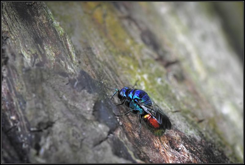 Goudwesp/Cuckoo Wasp