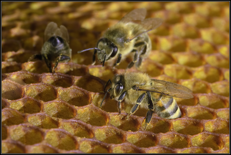 Honingbij/European honey bee