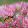 Knollenbladwesp/Turnip sawfly