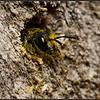 Tronkenbij/Large headed Resin Bee