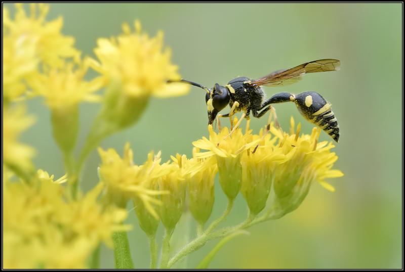 Urntjeswesp onbekend/Potter wasp
