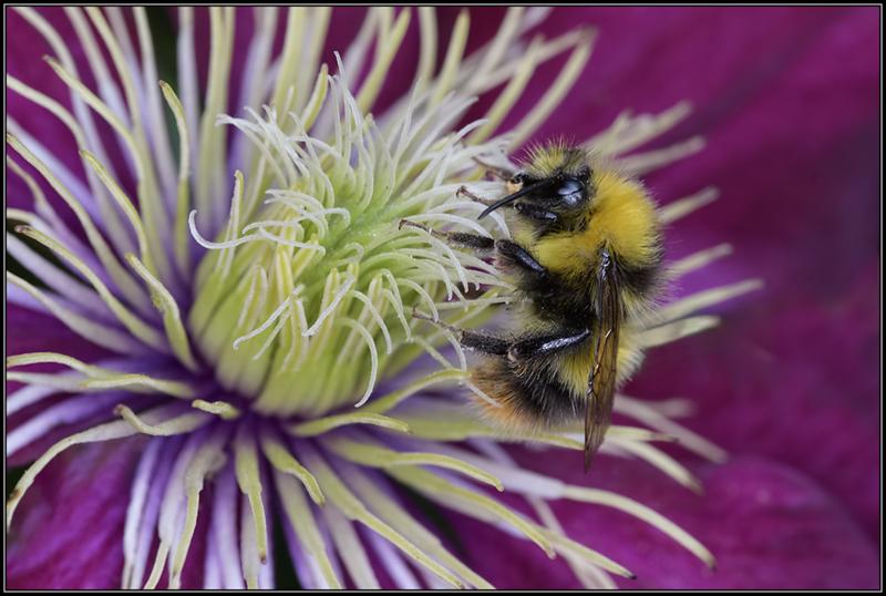 Weidehommel/Early Bumblebee