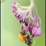 Boomhommel/Tree bumblebee