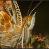 Distelvlinder/Painted Lady