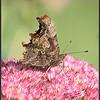 Gehakkelde Aurelia/Comma butterfly