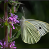 Groot koolwitje/Cabbage butterfly