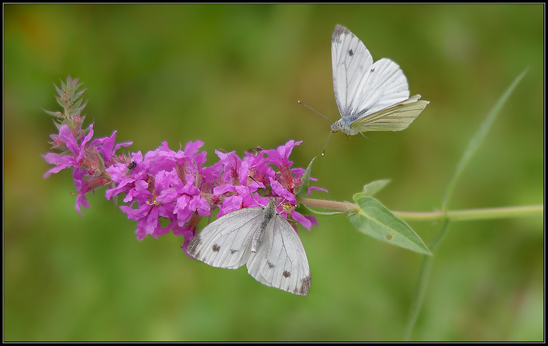Klein Koolwitje/Small Cabbage butterfly