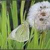Klein geaderd witje/Green-veined White