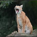 Europese lynx/Eurasian Lynx