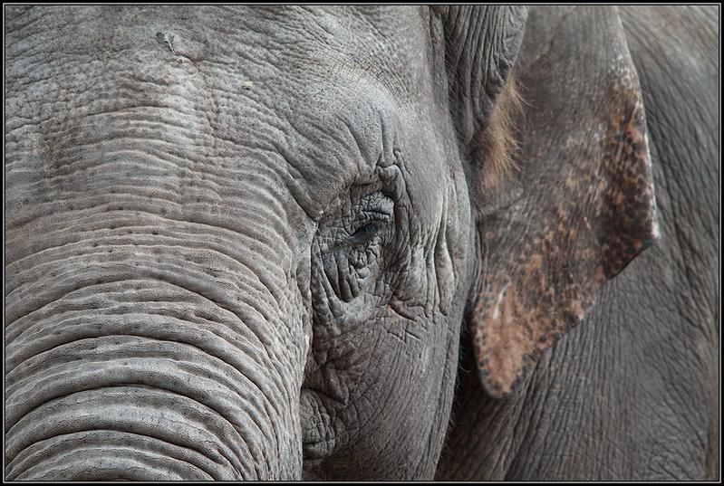 Aziatische olifant/Asian elephants