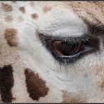 Giraffe/Giraffe