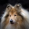 Schotse Collie/Scotch Collie