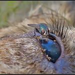 Groene vleesvlieg/green bottle fly