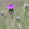 Speerdistel/Spear Thistle
