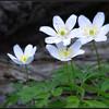 Bosanemoon/ Wood anemone