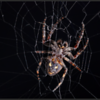 Brugspin/Bridge spider