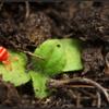 Fluweelmijt/Red velvet mite