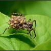 Gewone wolfspin/Common wolfs spider