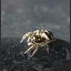 Huiszebraspin/Zebra Spider