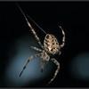 Kruisspin/European garden spider