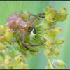 Moeraskrabspin met nimf groene stinkwants/Swamp crab spider with nymph Green Shield Bug