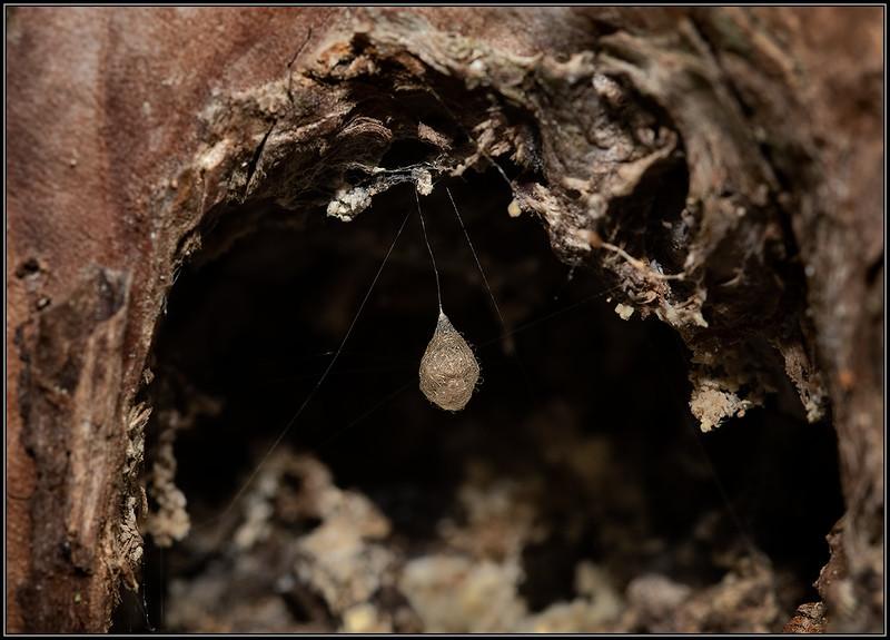 Eicocon Spinneneter_onbekend/Pirate spider