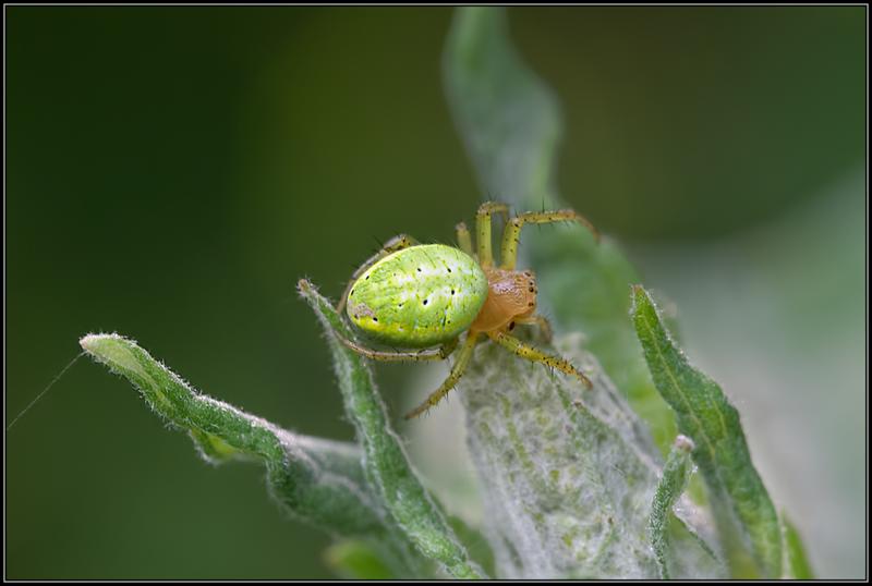 Gewone Komkommerspin/Cucumber Green Spider