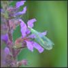 Groene Gaasvlieg/Green lacewing