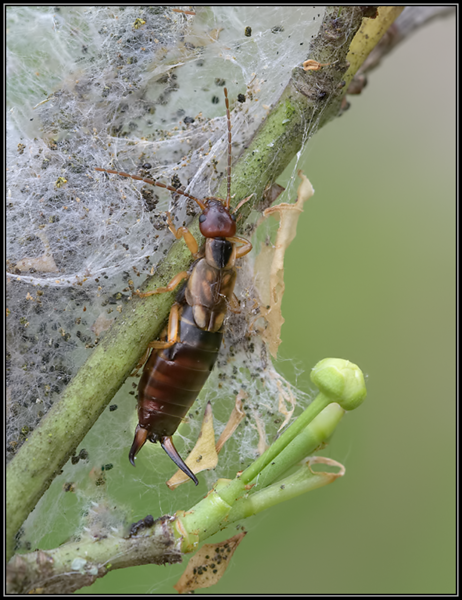 Oorworm/Common Earwig