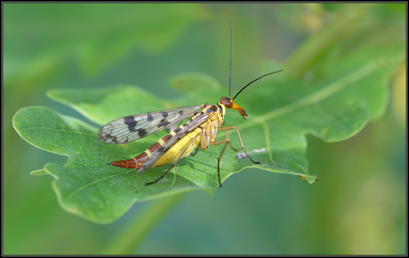 Roodkopschorpioenvlieg/ Scorpionfly