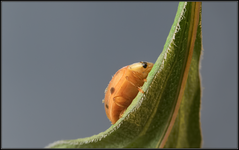 Aziatisch lieveheersbeestje/Multicolored Asian lady beetle