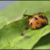 Aziatisch lieveheersbeestje/Multicolored Asian lady beetle