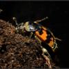 Krompootdoodgraver/Nicrophorus