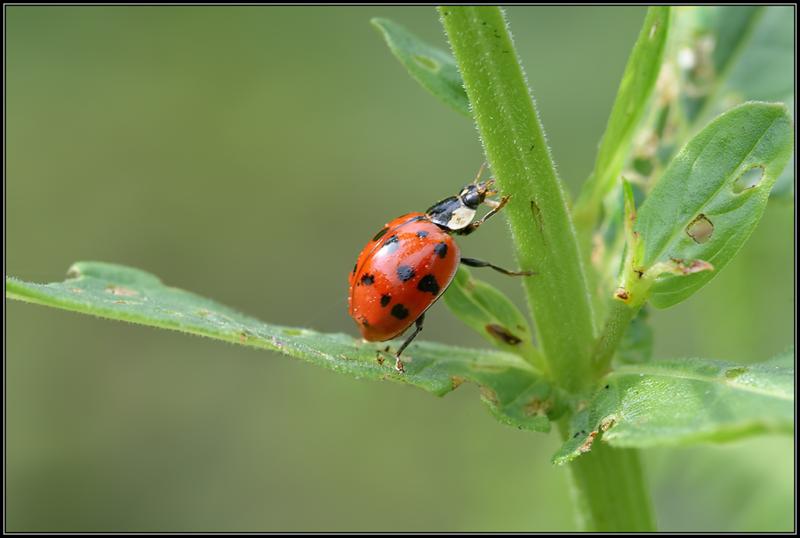 Lieveheersbeestje/Lady beetle