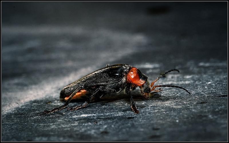 Zwartpoot soldaatje/Soldier beetle
