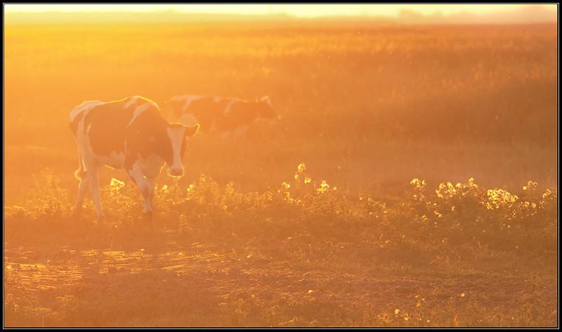 Koeien/Cows